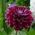 Purple Pearl 1