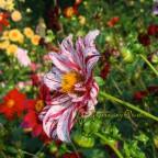 Einfache, zweifarbige, hohe Dahlie im Park von Schloss Dyck