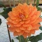9#1425 Orange Garden