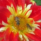 Bienen Sämling Halskrause