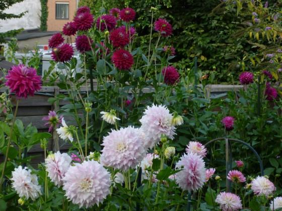 Dahlien in Rosa, Pink ,Purpur und Weiß. Relativ sonniger Standort.
