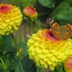 Schmetterling Linos