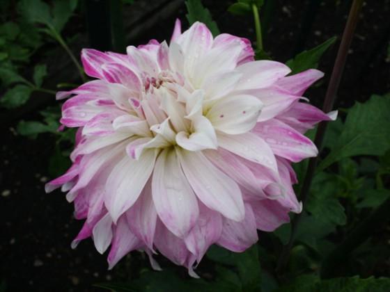 Pink Petticoat