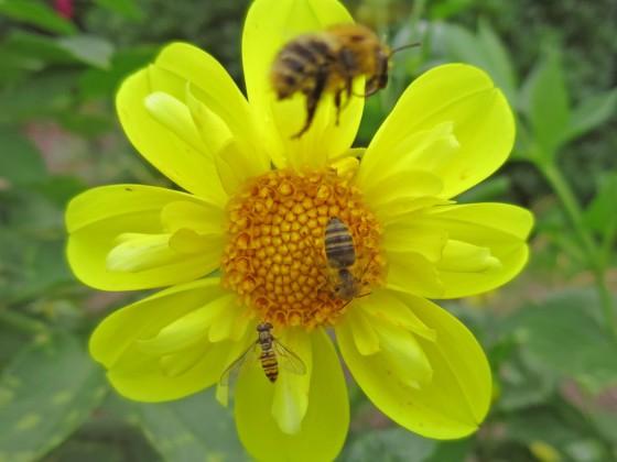 Bienen Sämling gelb